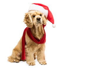 American cocker spaniel with Santa's cap in front of white background, studio shot. Copy space.