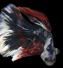 Bettafish movement with clipping path on dark background