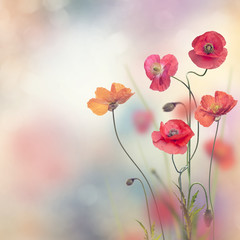 Obraz Red Poppy Flowers - fototapety do salonu