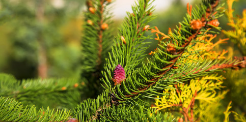 Young purple cone on the fir in the garden. The concept of landscape design.