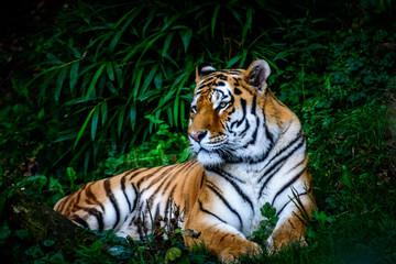 resting Amur tiger
