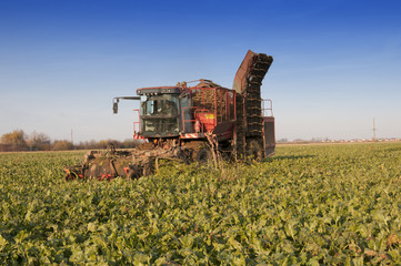 harvesting of sugar beets