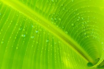 feuille de bananier enroulée en spirale