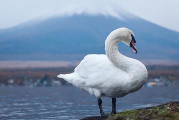 White swan and Mt Fuji
