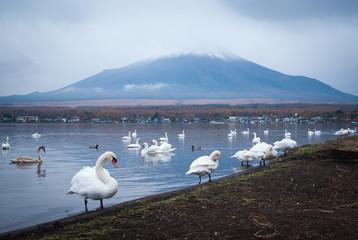 White swans and Mt Fuji