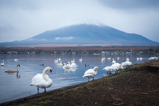 White swans and Mt Fuji