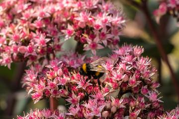 Biene auf pinken Blumen