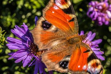 Schmetterling auf violetten Blumen