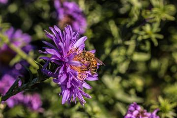 Biene auf violetten Blumen
