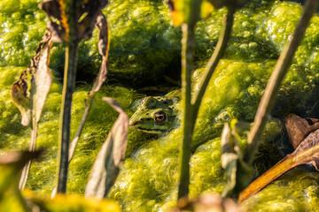 Frosch in den Algen