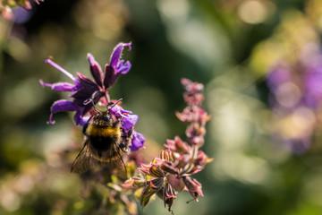 Hummel auf violetten Blumen