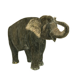 Watercolor painting elephant isolated on white