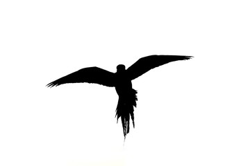Flying parrot silhouette isolate on white background
