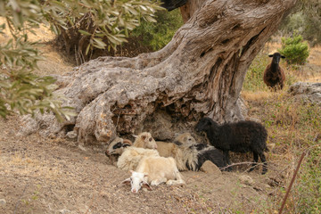 Ziegen, Herde, Olivenbaum, Schafe