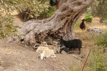 Schafe, Ziegen, Herde, Olivenbaum
