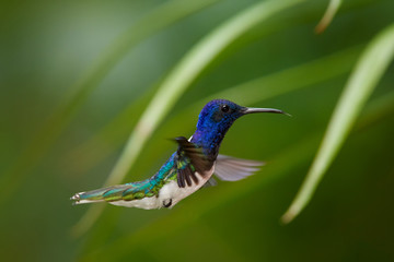 Close up photo, beautiful shining blue hummingbird, White-necked Jacobin Florisuga mellivora hovering in the air. Blurred colorful flowers in background, nice bokeh. Rain forest, Trinidad and Tobago.