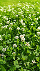 Clover on a summer meadow