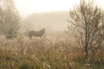 brown horse walking in the morning on a meadow in the mist fog