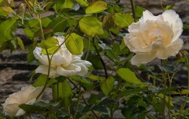Roses à Angers, Maine-et-Loire, France