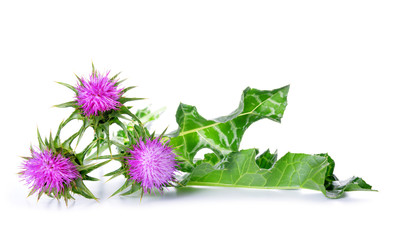 Silybum marianum (Milk Thistle) isolated on white background, Medical plants.