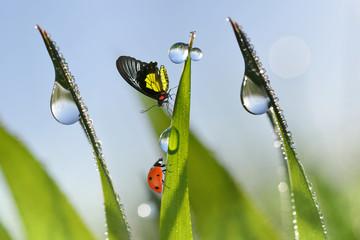 Wall Mural - Ladybug and butterfly on fresh green spring blades of grass with dew drops closeup.