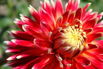 red dahlia flower akita