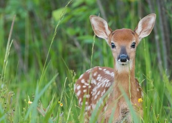 Poster Hert Whitetail fawn in the grass