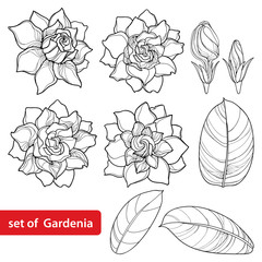 Vector set with outline Gardenia flower, ornate bud and leaves in black isolated on white background. Perennial tropical fragrant plant Gardenia in contour style for summer design and coloring book.