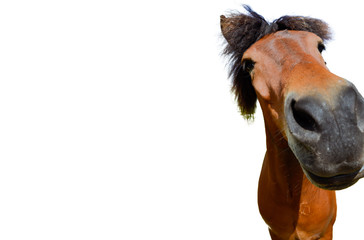 Brown horse head in closeup