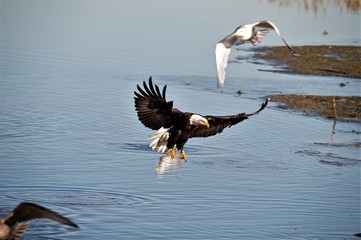 Bald Eagel In flight