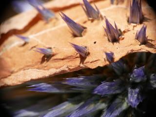 thistle pierces leaf macro