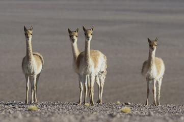 Group of curious vicuñas (Vicugna vicugna) at the Atacama desert