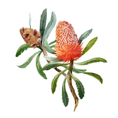 Watercolor banksia flower vector composition