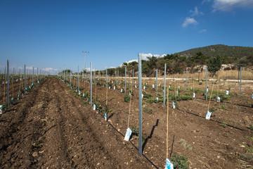 New vineyard plantation