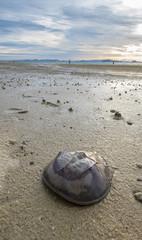Shield Crab on the beach