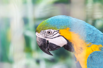 Close up face head of blue and yellow macaw or blue and gold macaw bird standing perch on the branch in cage.