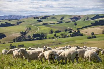 Merinoschafzucht in Neuseeland