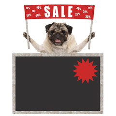 happy cute pug puppy dog holding up red banner sign with text sale % off, with blank blackboard, isolated on white background