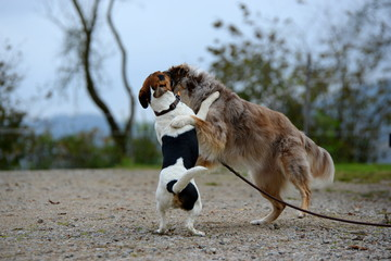 bis hier und nicht weiter, kleiner Parson Russel Terrier versucht Hütehund aufzuhalten