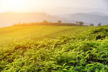 Beautiful green tea leaves at tea plantation at sunset