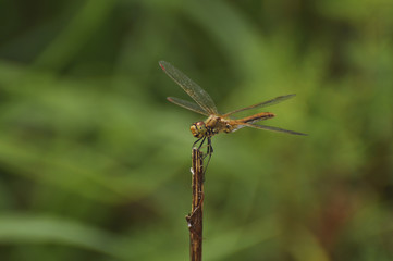 Dragonfly sits on a green plant. Insect, wild nature, animals, fauna, flora, plants, beauty, entomology, biology