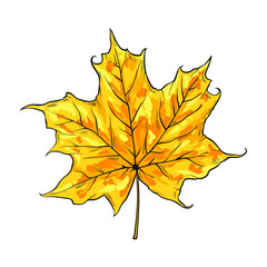 One leaf of maple, vector illustration isolated on white background