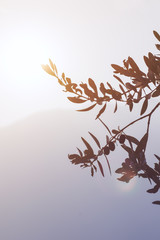 Mediterranean olive grove. Olive branch with olives ready to harwest on a background of sunlight