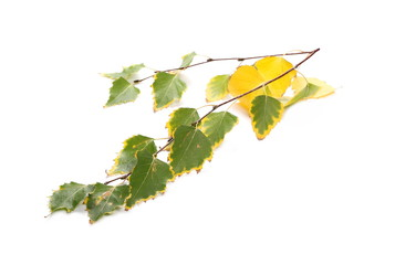 Birch leaves on twig isolated on white background