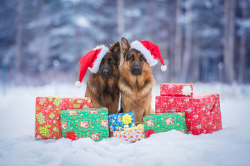 Two german shepherd dogs dressed in christmas hats sitting near the christmas gifts