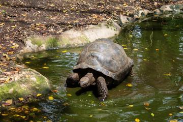 Гигантская сейшельская черепаха