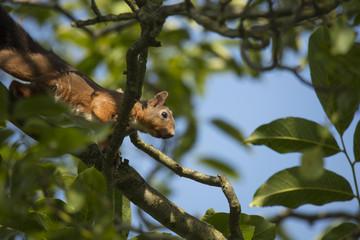 Squirrel climbing tree