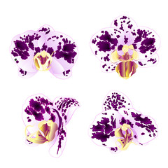 Orchids Phalaenopsis spotted Purple-white  beautiful flowers set first vintage on a white background vector illustration closeup   editable  hand draw