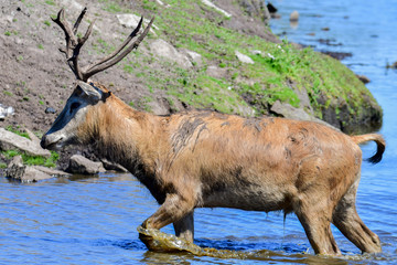 Père David's deer wading through blue water