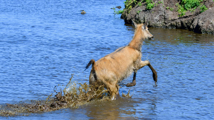A female Père David's deer running through water